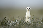 Ermine (Mustela erminea) in winter coat, in meadows, Vaud, Switzerland