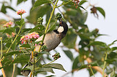 White-eared Bulbul (Pycnonotus leucotis) gobbling a berry on a branch, North West, India