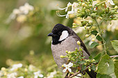 White-eared Bulbul (Pycnonotus leucotis) on a branch in a flowering shrub, North West, India