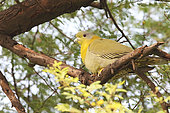 Yellow-footed Green Pigeon (Treron phoenicopterus) resting on a branch in the foliage, North West India