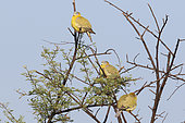 Yellow-footed Green Pigeon (Treron phoenicopterus) group resting on a branch against blue sky, North West India