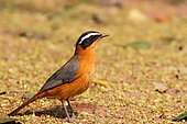 White-browed Robin-chat (Cossypha heuglini)