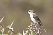 Marico Flycatcher (Bradornis mariquensis) on a branch, on the lookout for insects, dry season, Botswana