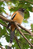 Rufous Treepie (Dendrocitta vagabunda) hidden in the foliage, North West India