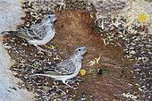 Black-throated canary (Crithagra atrogularis)