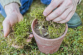 Planting claws of lily of the valley in pot: cover with moss