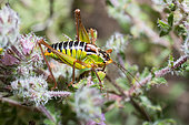 Cretan Bright Bush-cricket (Poecilimon cretensis), Crete, Greece