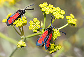 Burnet (Zygaena punctum) on flowers, Crete, Greece