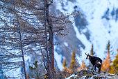 Mountain life, Chamois (Rupicapra rupicapra), Slovakia