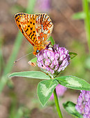 Pearl-bordered Fritillary (Clossiana euphrosyne) on clover flowers, Mont Ventoux, Provence, France