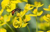 Sandpit Blood Bee (Sphecodes pellucidus) female on Cypress spurge (Euphorbia cyparissias), solitary bees, Vosges du Nord Regional Natural Park, France