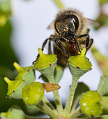 Honey bee (Apis mellifera) licking nectar from an inflorescence of English ivy (Helix hederae), Vosges du Nord Regional Nature Park, France