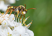 Painted Nomad Bee (Nomada fucata) female on Blackthorn (Prunus spinosa) flower, solitary bees, Vosges du Nord Regional Nature Park, France