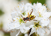 Early Nomad Bee (Nomada leucophthalma) female on Blackthorn (Prunus spinosa) flower, solitary bees Regional Natural Park of Vosges du Nord, France