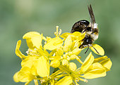 Ashy mining bee (Andrena cineraria) female on mustard flowers (Sinapis arvensis), solitary bees, Vosges du Nord Regional Natural Park, France