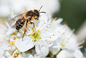 Yellow-legged Mining Bee (Andrena flavipes) female on blackthorn (Prunus spinosa), solitary bees, Vosges du Nord Regional Natural Park, France