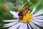 Yellow-legged Mining Bee (Andrena flavipes) female on Aster (Aster sp), solitary bees, Vosges du Nord Regional Natural Park, France