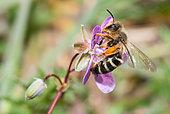 Andrenid Bee (Andrena florivaga) female on Geranium (Erodium dissectum), solitary bees, Vosges du Nord Regional Natural Park, France