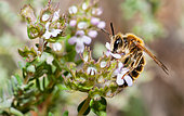 Large Meadow Mining Bee (Andrena labialis) male on savory flowers (Satureja montana), Mont Ventoux, Provence, France