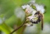 Andrenid Bee (Andrena lathyri) male, solitary bees, Vosges du Nord Regional Natural Park, France