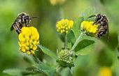 Common Mini-mining Bee (Andrena minutula) female on Lesser trefoil (Trifolium dubium), solitary bees, Vosges du Nord Regional Natural Park, France