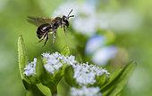 Common Mini-mining Bee (Andrena minutula) female on lamb's lettuce flowers (Valerianella olitoria), solitary bees, Vosges du Nord Regional Natural Park, France