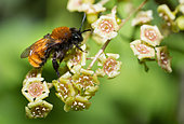 Tawny Mining Bee (Andrena fulva) female on the flowers of Gooseberry (Ribes sp), solitary bees, Vosges du Nord Regional Natural Park, France