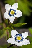 Anémone des Indes (Anemone rivularis) en fleurs, Jardin botanique de Samoëns, Haute-Savoie, Alpes, France