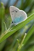 Green-underside Blue (Glaucopsyche alexis), Mont Ventoux, Provence, France