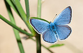 Green-underside Blue (Glaucopsyche alexis) on thyme, Mont Ventoux, Provence, France