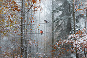 Couple of Eurasian bullfinch (Pyrrhula pyrrhula) in a mixed mountain forest with Oaks, Pines, Beeches, Sorbes, Larches, in autumn in the fog of the first snow, Regional Natural Park of Northern Vosges, France