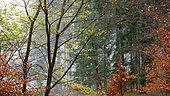Vosges du Nord autumn forest, Vosges du Nord regional natural park, France