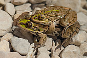 Perez's frog (Pelophylax perezi) mating in a pond at the edge of the Ardèche river, south of the Ardèche, Provence, France