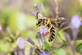 Six-banded furrow bee (Halictus sexcinctus) male on Common Calamint (Calamintha ascendens), solitary bees, Pays de Loire, France