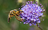 Male Mining Bee in competition (Halictus sexcinctus and Halictus scabiosae) for a Succis flower (Succisa pratensis), solitary bees, Vosges du Nord Regional Nature Park, France