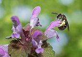 Chalk Furrow Bee (Lasioglossum fulvicorne) female on flower of Red Dead-nettle (Lamium purpureum), solitary bees, Vosges du Nord Regional Natural Park, France