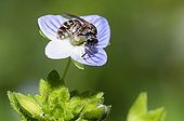 Sharp-collared furrow bee (Lasioglossum malachurum) female on Germander speedwell (Veronica chamaedrys) flower, solitary bees, Vosges du Nord Regional Natural Park, France
