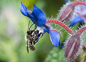 Red Mason Bee (Osmia bicornis) male on borage flower (Borago officinalis), solitary bees, Vosges du Nord Regional Natural Park, France