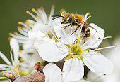 Leaf-cutting Bee (Osmia gallarum) male on Blackthorn (Prunus spinosa), solitary bees, Vosges du Nord Regional Natural Park, France