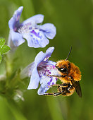 Fringe Horned Mason Bee (Osmia pilicornis) female on Carpet Bugle (Ajuga reptans) flower, solitary bees, Vosges du Nord Regional Natural Park, France