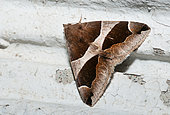 Passenger (Dysgonia algira) sleeping on a wall, Pays de Loire, France