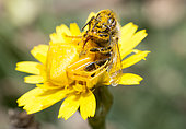 Goldenrod Spider (Misumena vatia) capturing a honey bee (Apis mellifera), Crete, Greece