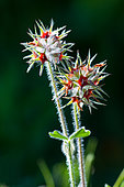 Starry Clover (Trifolium stellatum), Provence, France