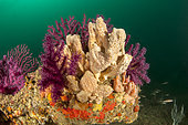 Crater sponge (Hemimycale columella) and Red Gorgonian (Paramuricea clavata), off M'dic, Morocco.