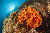 Rose coral (Pentapora fascialis), off Calella de Palafrugell, Costa Brava, Spain
