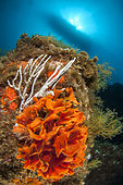 Sea rose (Pentapora fascialis) and White Gorgonian (Eunicella singularis), off Calella de Palafrugell, Costa Brava, Spain