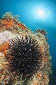 Black sea-urchin (Arbacia lixula), off Calella de Palafrugell, Costa Brava, Spain