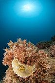 Giant Doris (Felimare picta), off Calella de Palafrugell, Costa Brava, Spain
