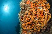 Yellow Encrusting Sea Anemone (Parazoanthus axinellae), off Calella de Palafrugell, Costa Brava, Spain