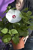 Hibiscus moscheutos Luna White